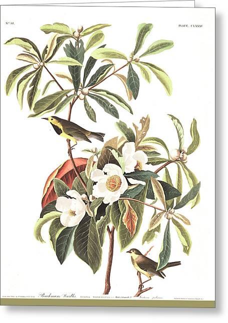 Bachman's Warbler  Greeting Card by John James Audubon