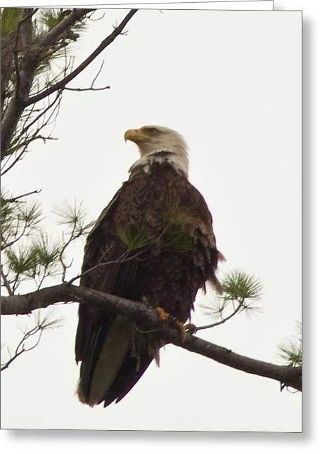Bald Eagle  Greeting Card by Daniel Hebard