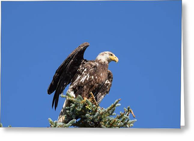 Greeting Card featuring the photograph Bald  Eagle Juvenile Ready To Fly by Margarethe Binkley
