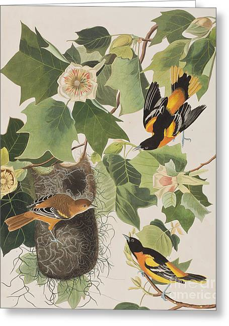Baltimore Oriole Greeting Card by John James Audubon