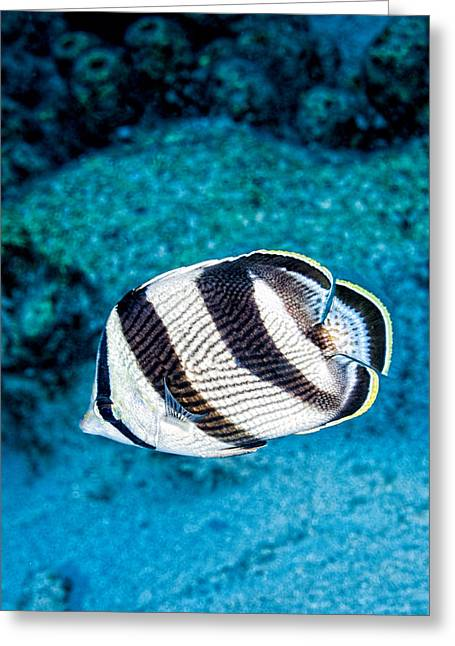 Greeting Card featuring the photograph Banded Butterflyfish by Perla Copernik