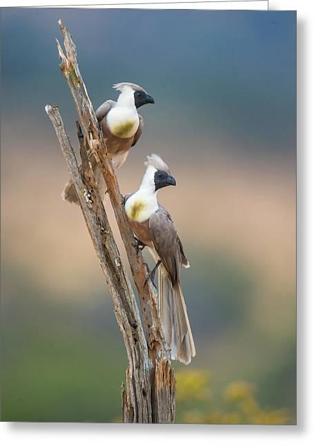 Bare-faced Go-away-birds Corythaixoides Greeting Card