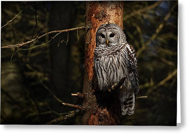 Greeting Card featuring the photograph Barred Owl In Pine Tree by Michael Cummings