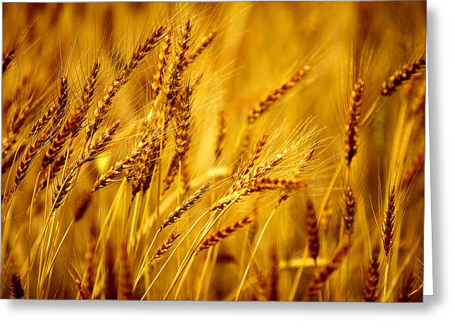 Bearded Barley Greeting Card by Todd Klassy