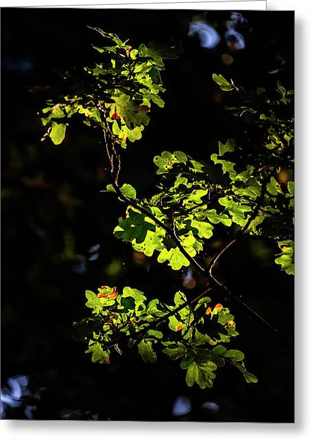 Beautiful Acorn Oak Tree In Forest Landscape With Dappled Sunlig Greeting Card