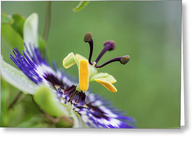 Beautiful Close Up Image Of Passion Flower On The Vine Greeting Card by Matthew Gibson