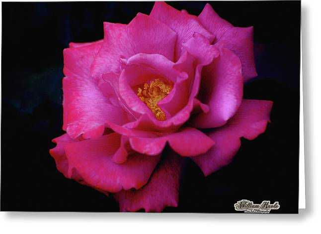 Beauty In A Rose Greeting Card by William Havle