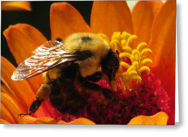 Bee With Zinnia Greeting Card
