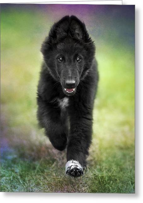 Belgian Sheepdog Puppy Greeting Card by Wolf Shadow  Photography