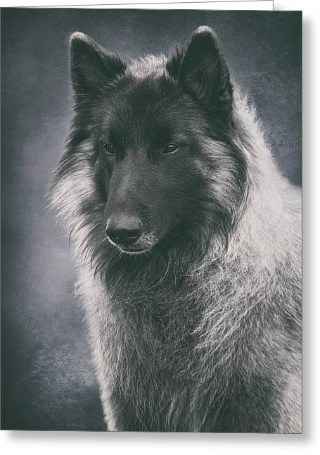 Belgian Tervuren Portrait Greeting Card by Wolf Shadow  Photography