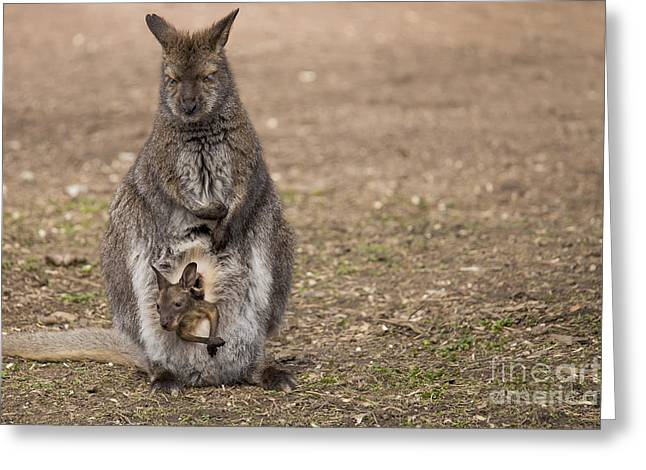 Bennett's Wallaby Greeting Card by Twenty Two North Photography
