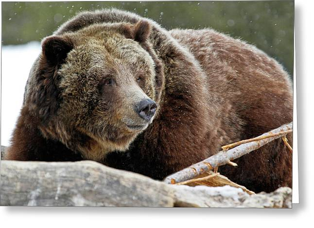 Beware Of Grizzly Greeting Card by Athena Mckinzie