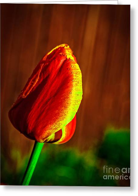 Bicolor Tulip Greeting Card by Robert Bales