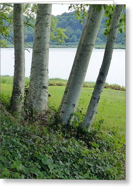 Birches At Cedemere 2 Greeting Card by Howard Rose