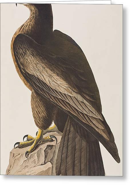 Bird Of Washington Greeting Card by John James Audubon