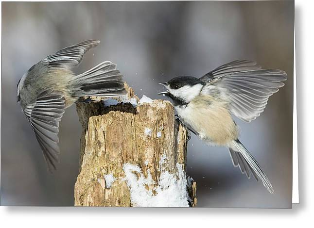 Greeting Card featuring the photograph Black-capped Chickadee In Winter by Mircea Costina Photography