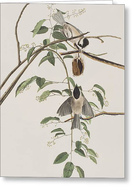 Black Capped Titmouse Greeting Card
