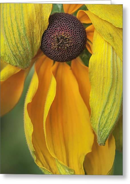 Black-eyed Susan Greeting Card