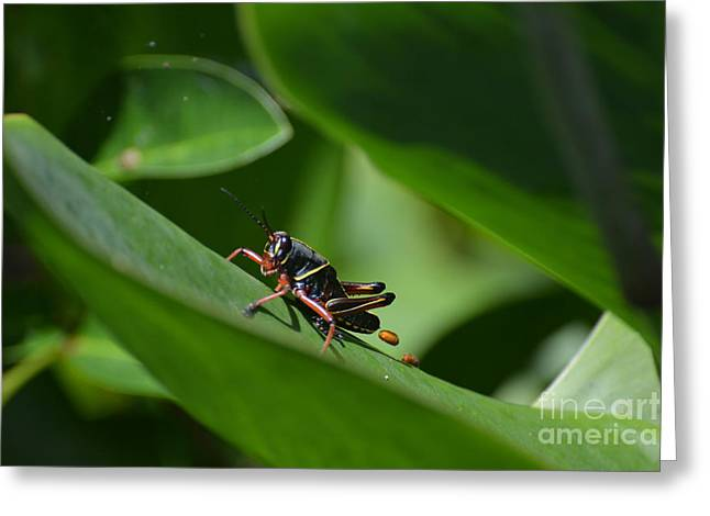 Black Lubber Grasshopper Greeting Card by Don Columbus
