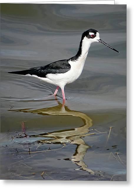 Black-necked Stilt Greeting Card