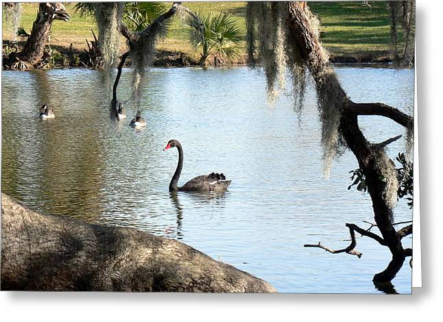 Greeting Card featuring the photograph Black Swan by Elizabeth Fontaine-Barr