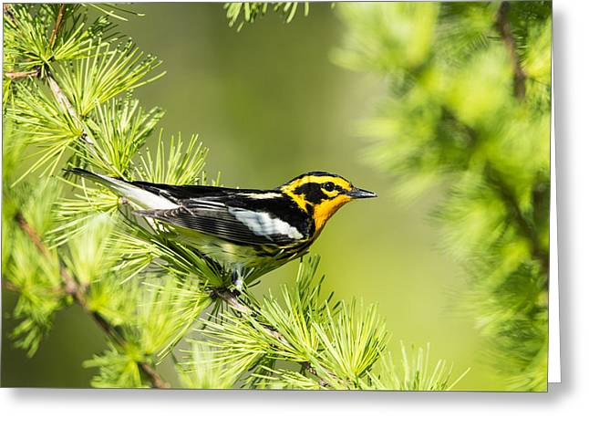 Blackburnian Warbler Male In Spring Finery Greeting Card