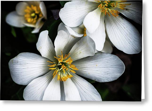 Bloodroot In Bloom Greeting Card by Thomas R Fletcher