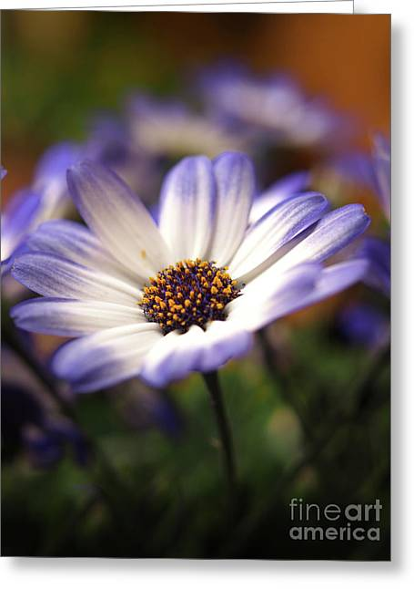 Blue Bi-color Pericallis Senetti  Greeting Card by Dorothy Lee