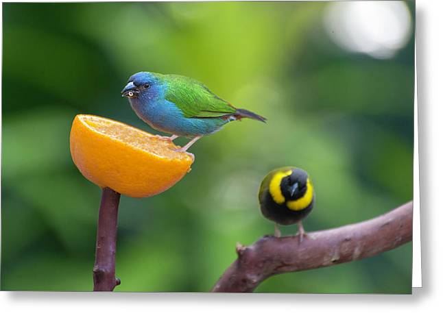 Blue-faced Parrotfinch Greeting Card