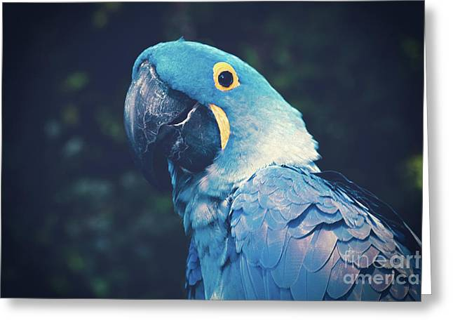 Blue Hyacinth Macaw Greeting Card by Sharon Mau