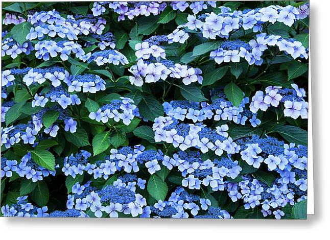 Miksang 12 Blue Hydrangea Greeting Card by Theresa Tahara