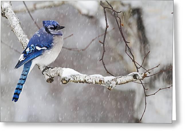 Blue Jay  Cyanocitta Cristata Perched Greeting Card
