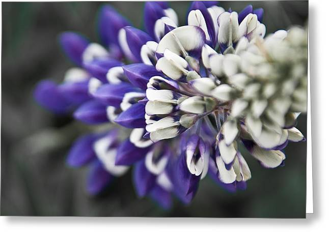 Blue Lupine Greeting Card by Jonathan Hansen