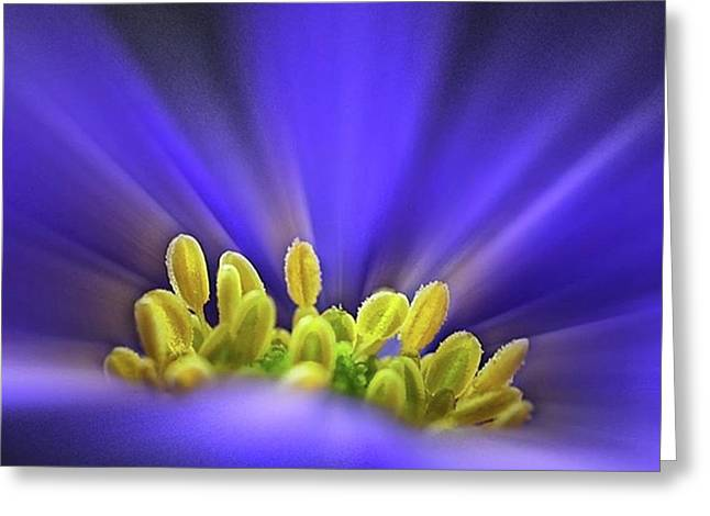 blue Shades - An Anemone Blanda Greeting Card by John Edwards