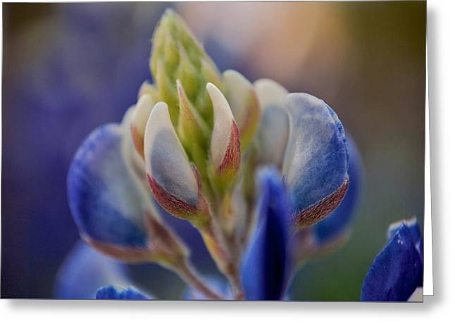 Bluebonnet Greeting Card
