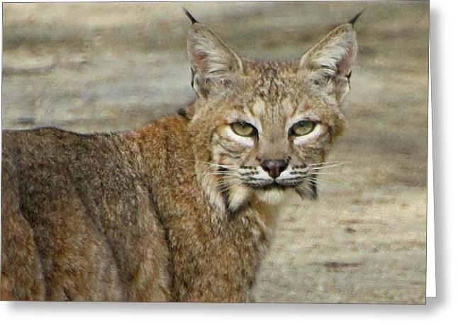 Bobcat Greeting Card by Kris Docken