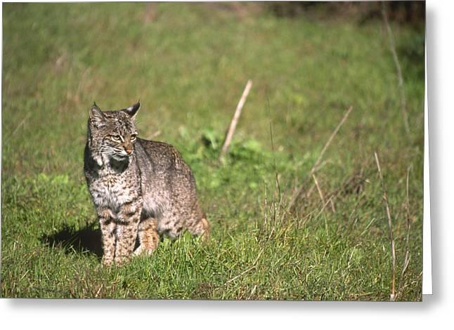 Bobcat - Wildcat Beach Greeting Card