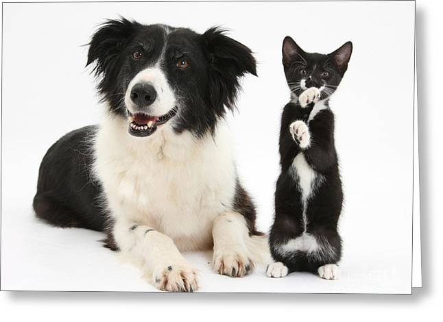 Border Collie And Tuxedo Kitten Greeting Card by Mark Taylor