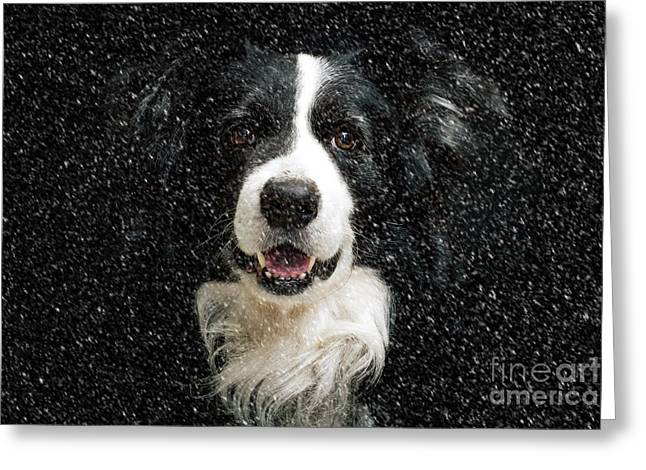 Border Collie Greeting Card by Nichola Denny