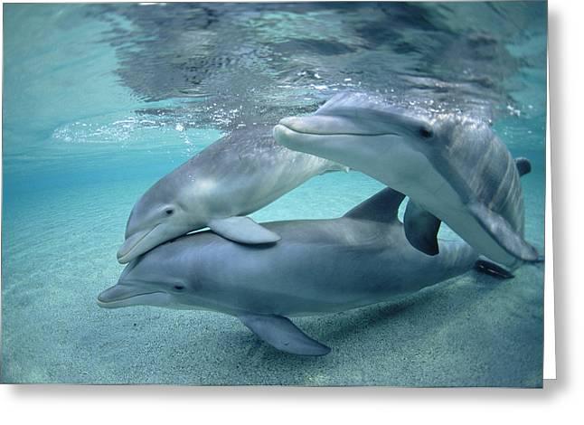 Bottlenose Dolphin Underwater Trio Greeting Card