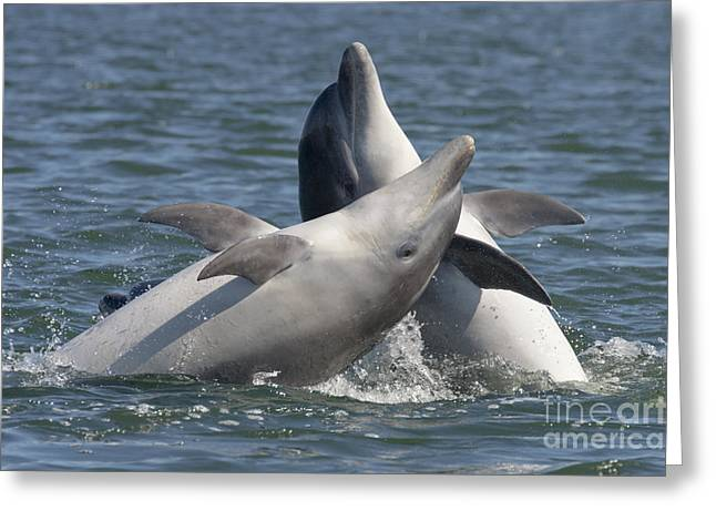 Bottlenose Dolphins  - Scotland  #15 Greeting Card