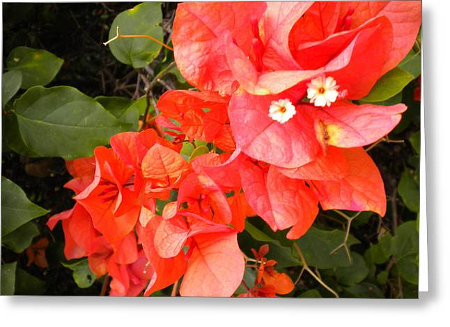 Bouganvilla 1 Greeting Card
