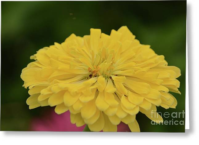Bright Yellow Zinnia Greeting Card by Ruth Housley