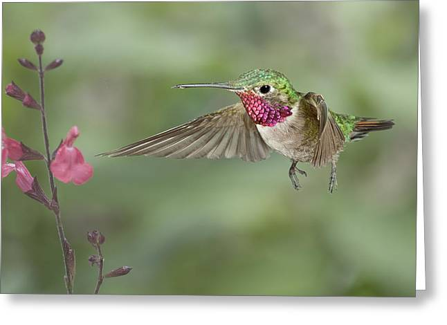 Broadtail Hummingbird And Salvia Greeting Card