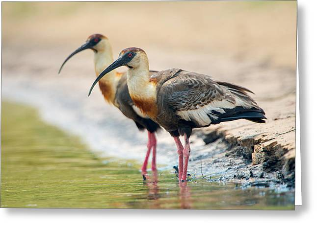 Buff-necked Ibis Theristicus Caudatus Greeting Card by Panoramic Images
