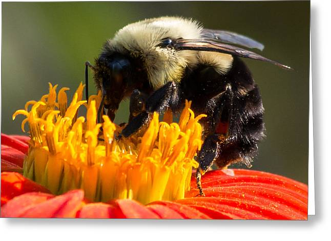 Greeting Card featuring the photograph Bumble Bee by Willard Killough III