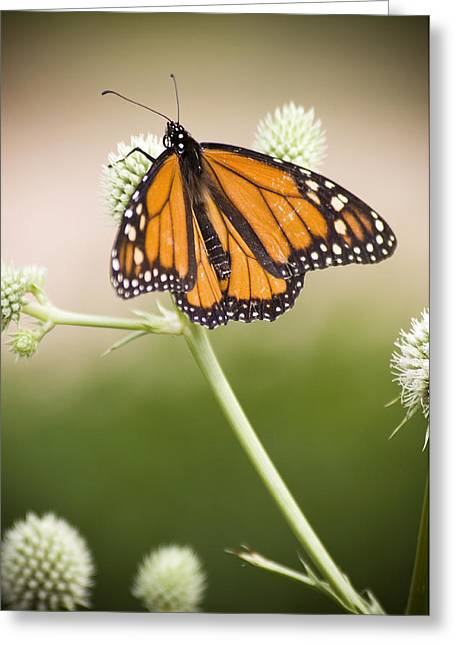 Butterfly In Wait Greeting Card