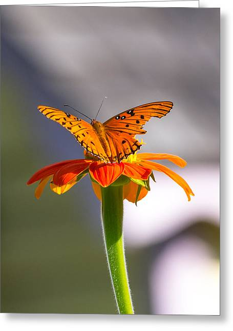 Greeting Card featuring the photograph Butterfly On Flower by Willard Killough III