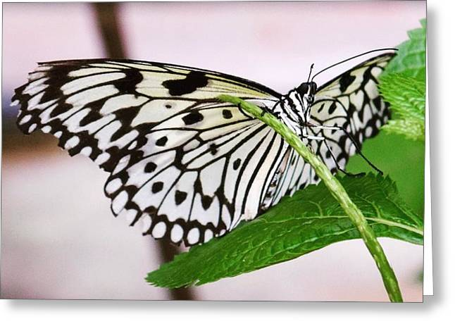 Paper Kite Butterfly No. 1 Greeting Card by Sandy Taylor