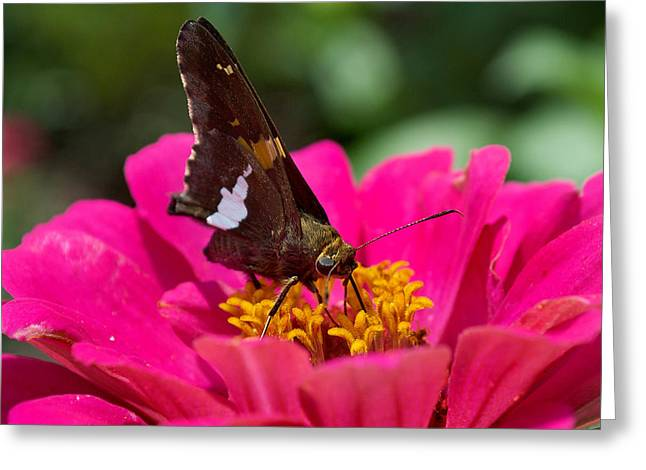 Butterfly Greeting Card by Skip Willits